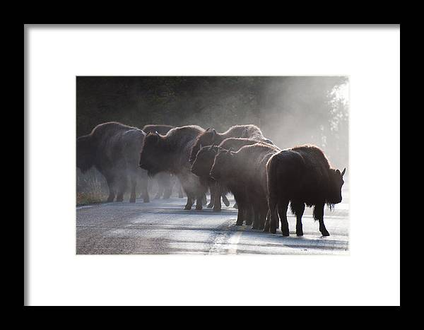 Bison Framed Print featuring the photograph Early Morning Road Bison by Bruce Gourley