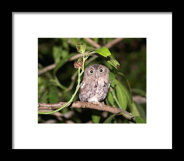 Eastern Screech Owl Framed Print featuring the photograph Eastern Screech Owl 1 by Dennis Sotolongo