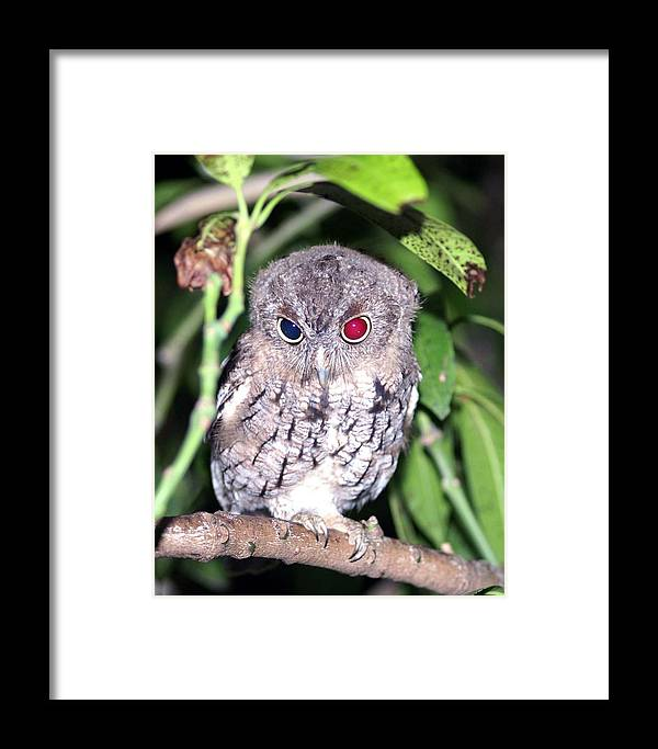 Eastern Screech Owl Framed Print featuring the photograph Eastern Screech Owl 2 by Dennis Sotolongo