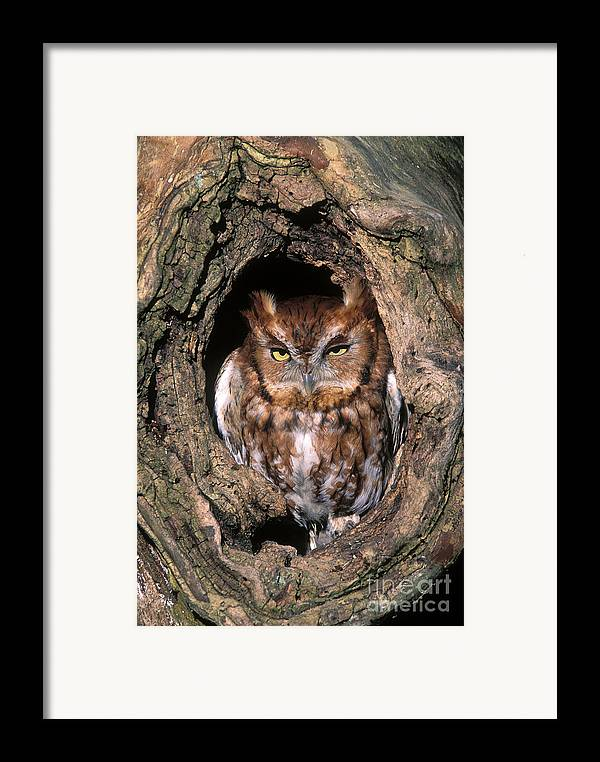 Red Framed Print featuring the photograph Eastern Screech Owl - Fs000810 by Daniel Dempster