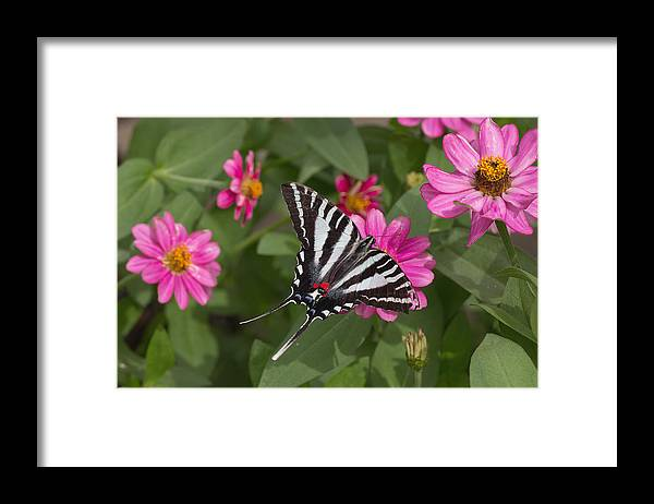 Eastern Framed Print featuring the photograph Eastern Tiger Swallowtail Butterfly by Jack Nevitt