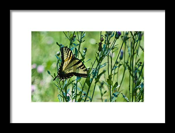 Butterflies Framed Print featuring the photograph Eastern Tiger Swallowtail Ins 76 by G L Sarti