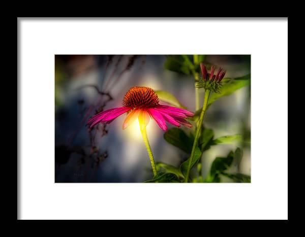 Flower Framed Print featuring the photograph Echinacea Sunrise by Bob Orsillo