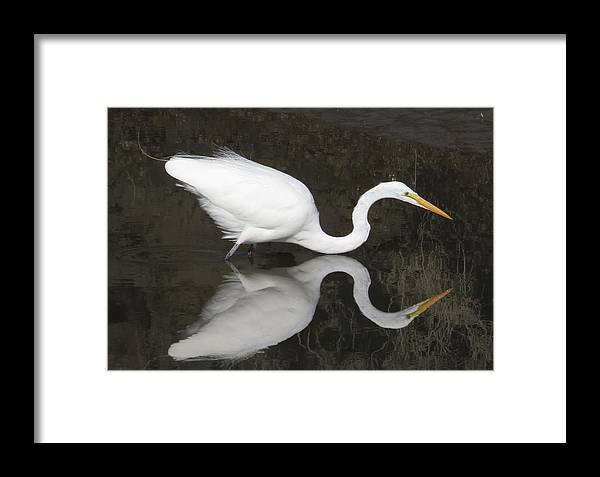 Egrets Framed Print featuring the photograph Egret Ballet by Alex Call