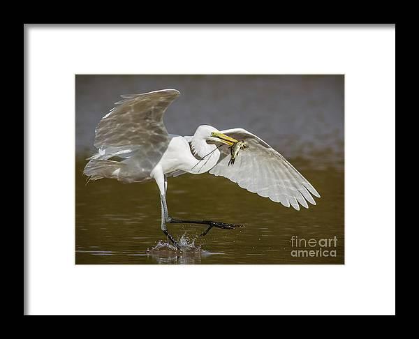 Ardea Alba Framed Print featuring the photograph Egret Happy Dance...... by Carl Jackson