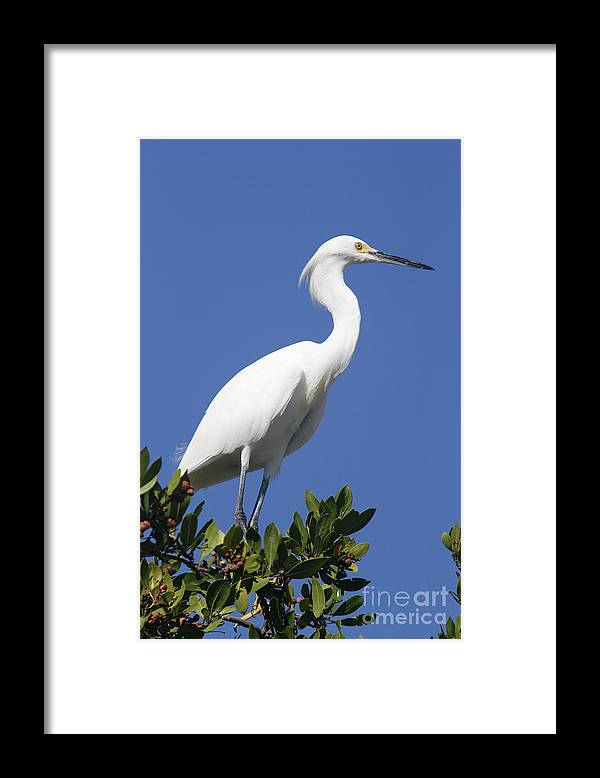 Snowy Egret Framed Print featuring the photograph Egret Outlook by Christiane Schulze Art And Photography