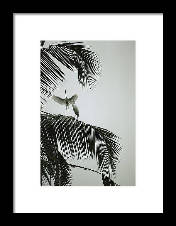 Plants Framed Print featuring the photograph Egrets In A Palm Tree, Bali, Indonesia by Michael Nichols