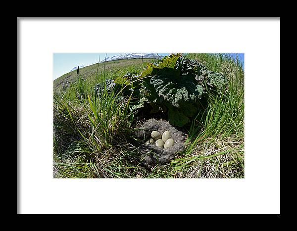 Bird Framed Print featuring the photograph Eider Eggs by Erlendur Gudmundsson
