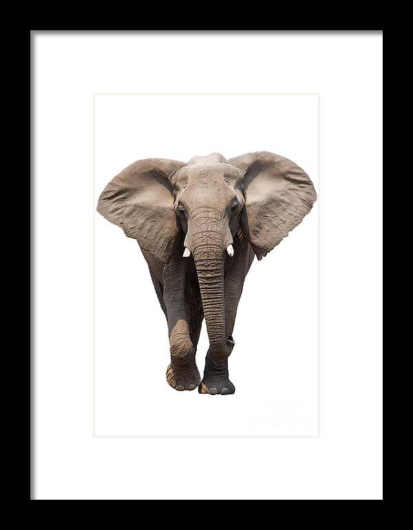 Wild Framed Print featuring the photograph Elephant Isolated by Johan Swanepoel