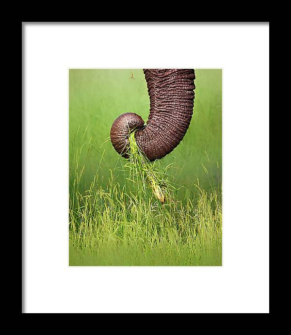 Close-up Framed Print featuring the photograph Elephant Trunk Pulling Grass by Johan Swanepoel