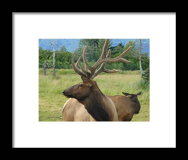 Animal Framed Print featuring the photograph Elk Couple by Lew Davis