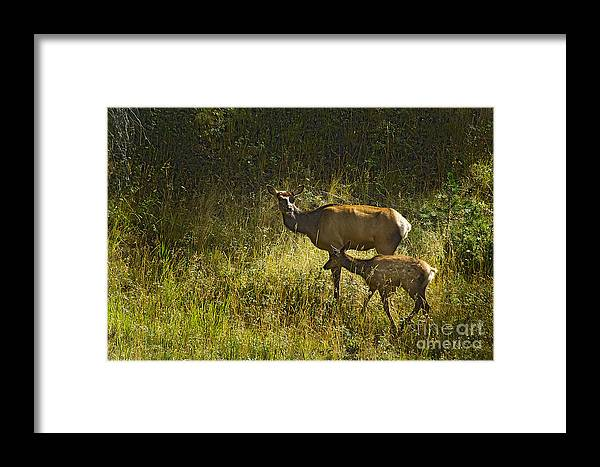 Elk Framed Print featuring the photograph Elk Doe And Fawn-signed #4465 by J L Woody Wooden