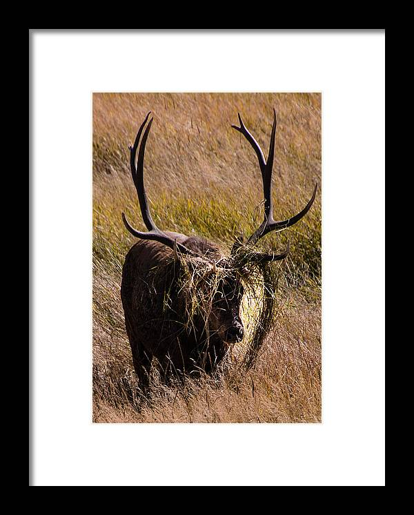 Elk Framed Print featuring the photograph Elk Hairdo by Cathy Donohoue
