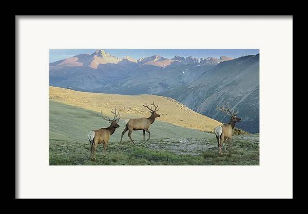 Elk Framed Print featuring the photograph Elk Surprise.. by Al Swasey
