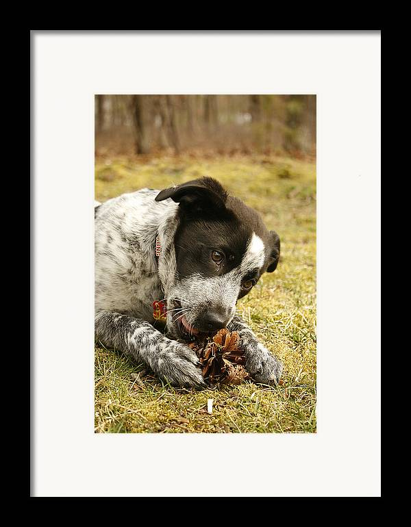 Puppy Framed Print featuring the photograph Ellie Vs. The Pine Cone by Kristia Adams