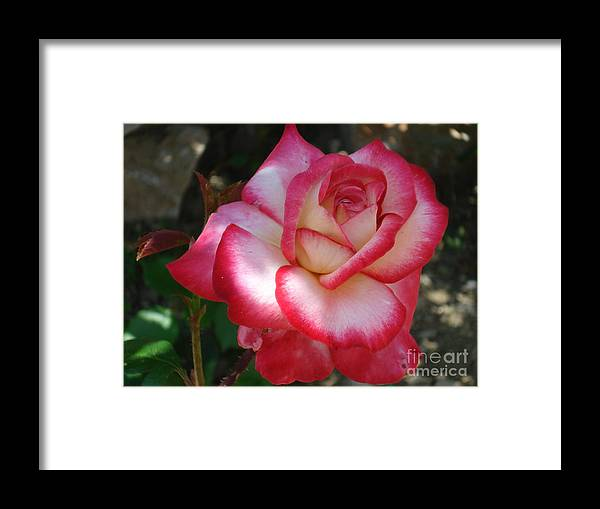 Rose Framed Print featuring the photograph End Of June Bloom by Linda De La Rosa