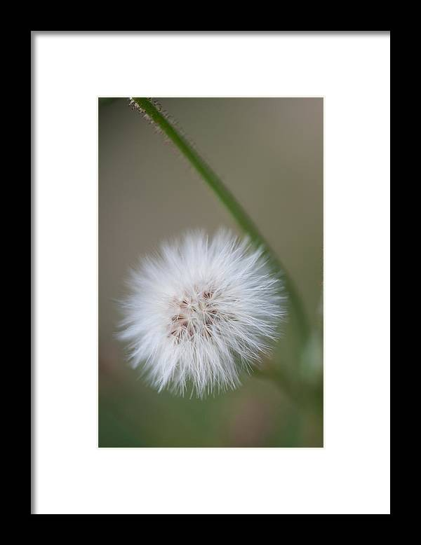 Dandelion Framed Print featuring the photograph End of Life by Paul Johnson