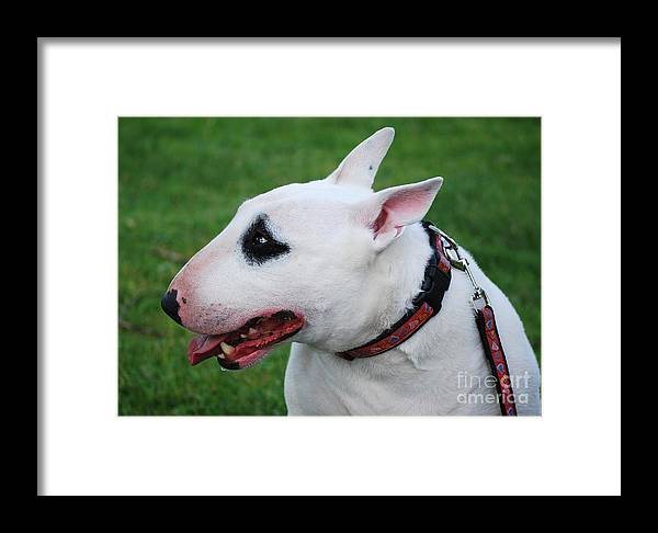 English Framed Print featuring the photograph English Bull Terrier by Les Palenik