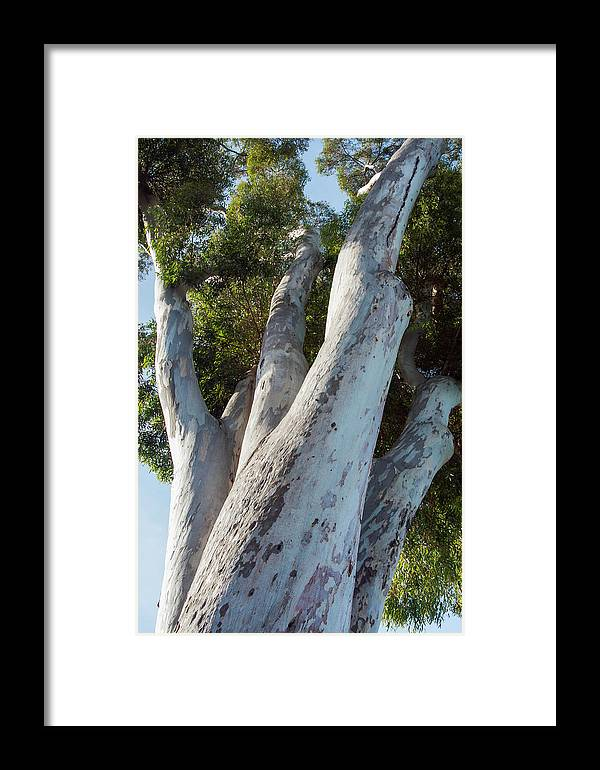 Aspiration Framed Print featuring the photograph Eucalyptus Tree, California by Zandria Muench Beraldo