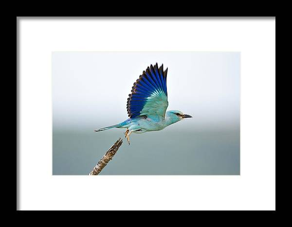 Action Framed Print featuring the photograph Eurasian Roller by Johan Swanepoel