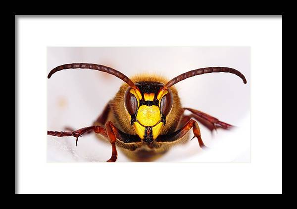 Wasp Framed Print featuring the photograph European Hornet-vespa Crabro by Marko Lengar