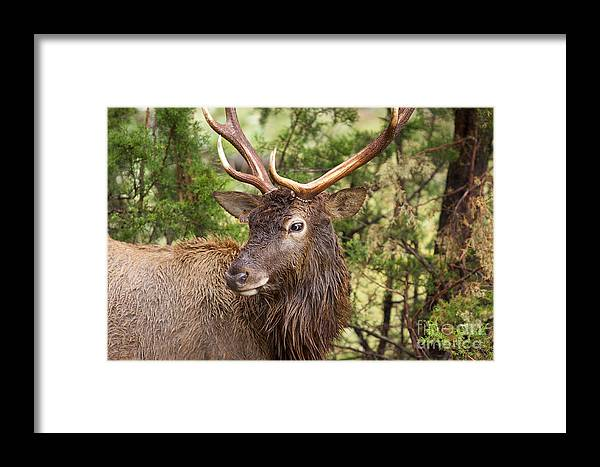 Antlers Framed Print featuring the photograph European Red Deer 1 by Valerie Johnson