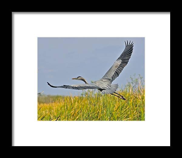 Heron Framed Print featuring the photograph Everglades Flight by John Kearns