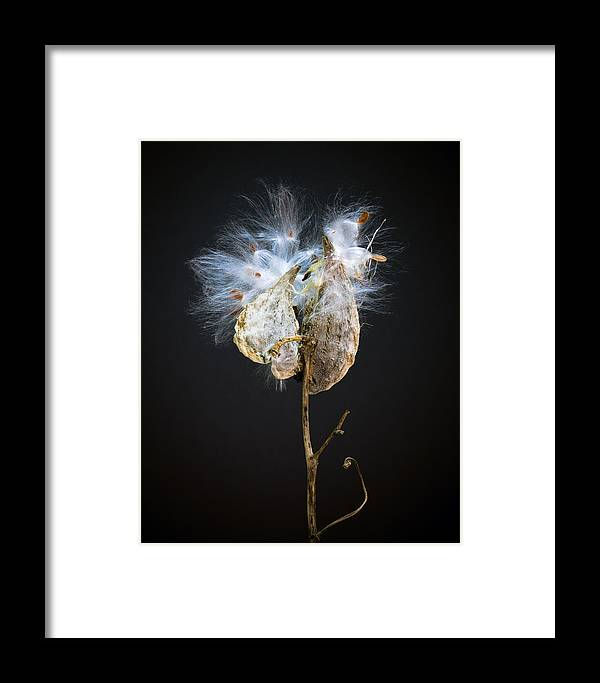 Milkweed Framed Print featuring the photograph Exploding Milkweed by MaryGail Perkins