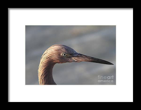 Eddish Egret Framed Print featuring the photograph Eye Of The Reddish by Christiane Schulze Art And Photography