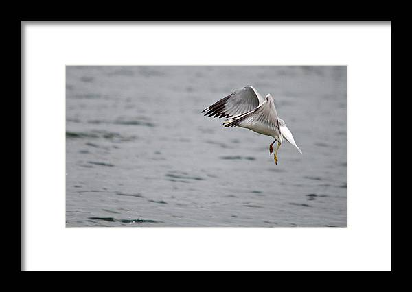 Roy Williams Framed Print featuring the photograph Eye Of The Seagull by Roy Williams