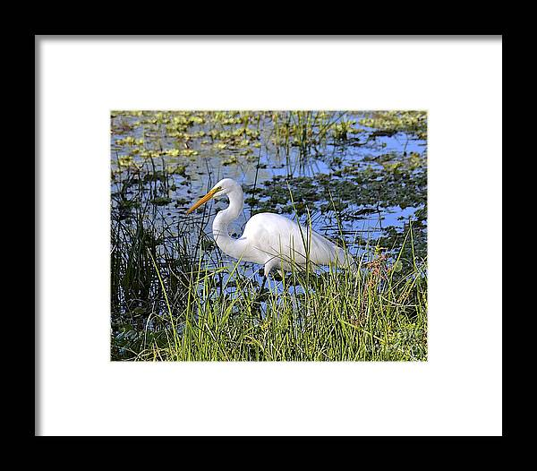 Egret Framed Print featuring the photograph Eye On The Prize by Carol Bradley