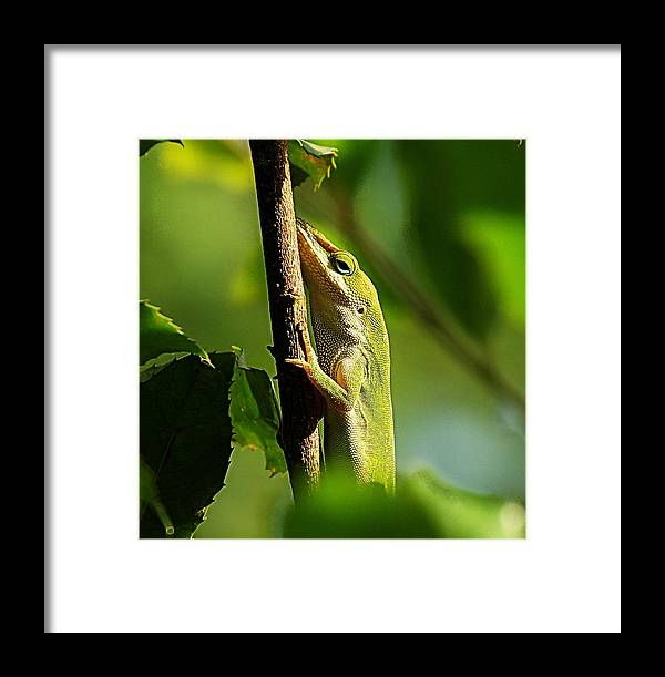 Lizard Framed Print featuring the photograph Eyeing The Camera by Paul Wilford