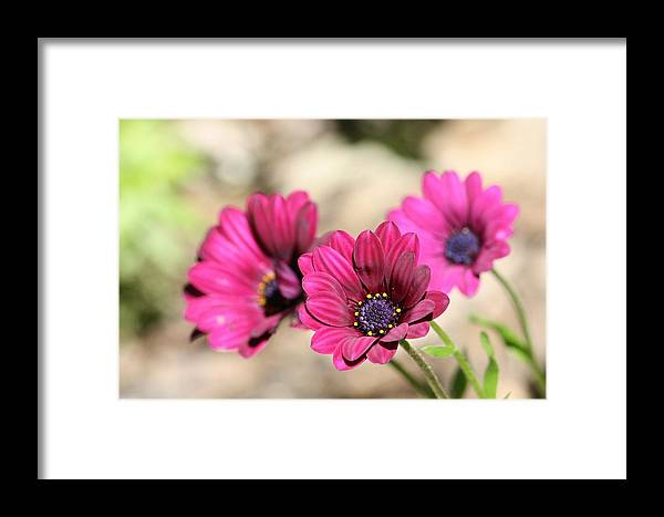 Burgundy Framed Print featuring the photograph Fabulous Colour by Sue Chisholm