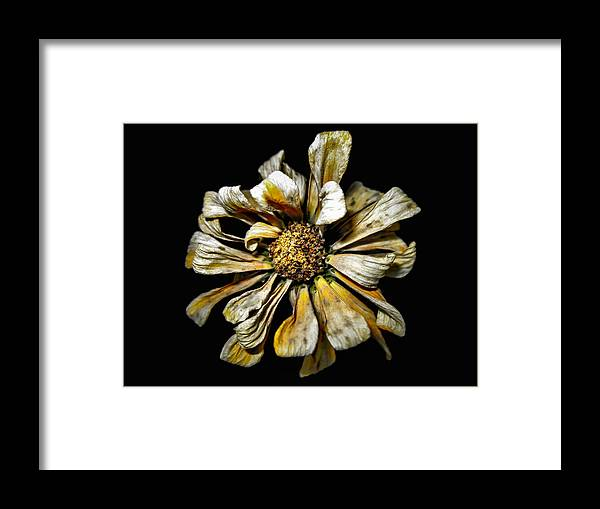Daisy Framed Print featuring the photograph Fading Beauty by Barbara J Franklin