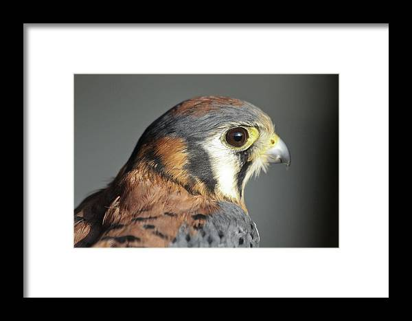 Falcon Framed Print featuring the photograph Falcon by Dan Poirier