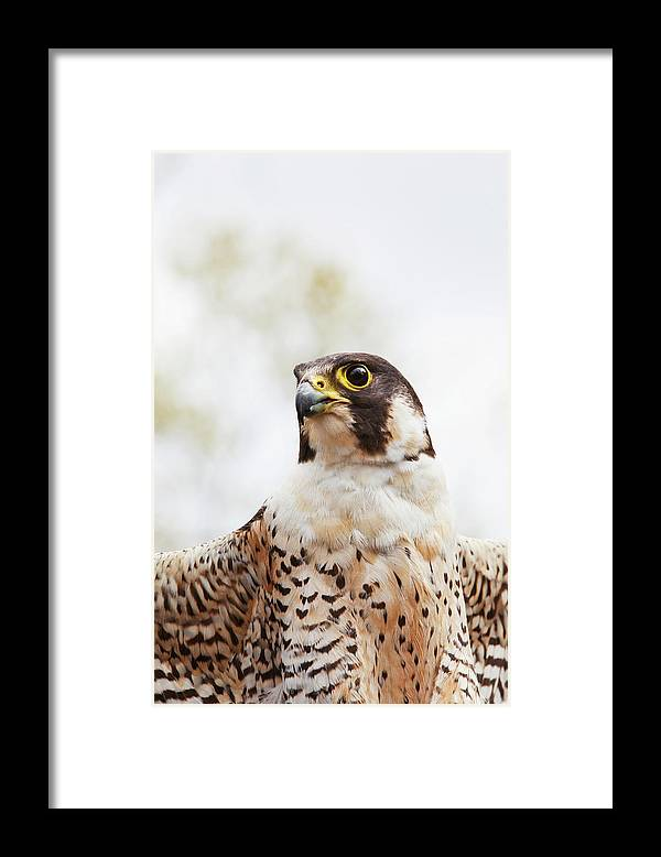 Alertness Framed Print featuring the photograph Falcon On The Look For Prey by Richard Wear / Design Pics