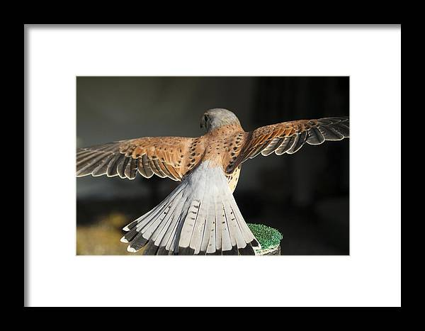 Falcon Framed Print featuring the photograph Falcon- Wings Spread by Dan Poirier