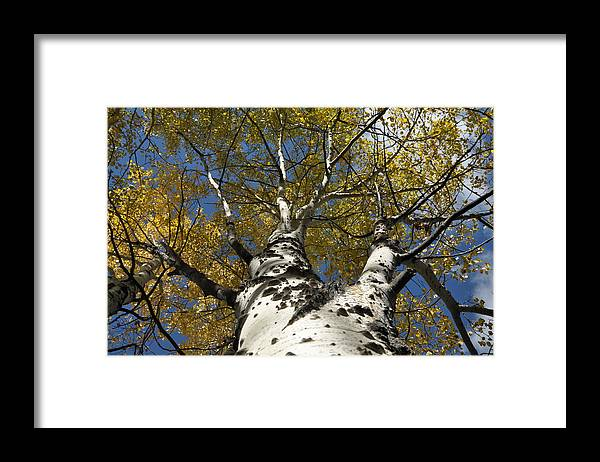 Gold Framed Print featuring the photograph Fall Aspen by Frank Madia