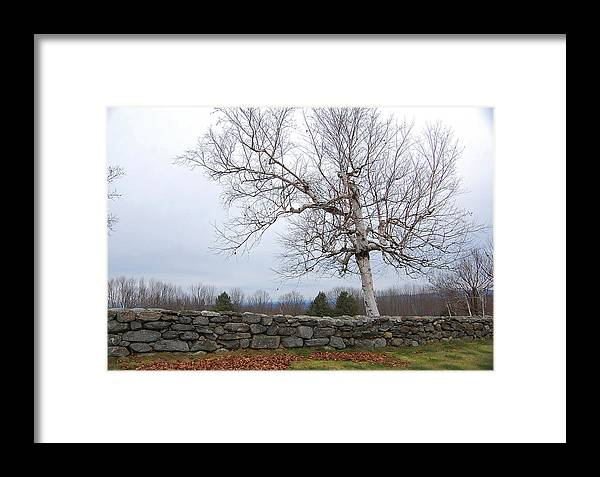 Brich Tree Framed Print featuring the photograph Fall Birch by George Bogosian