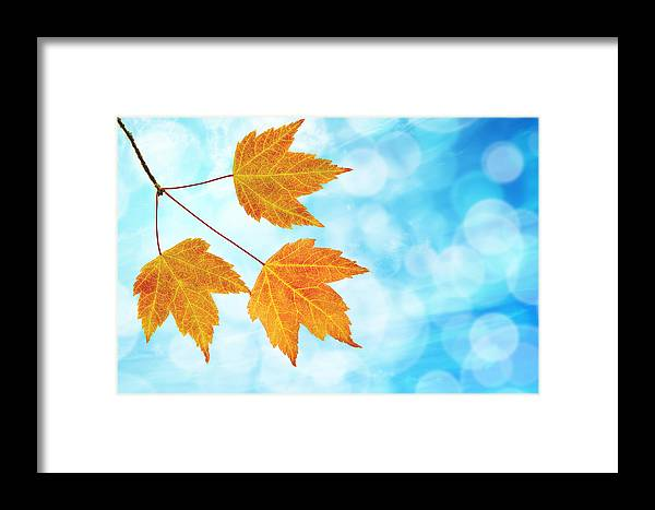 Fall Framed Print featuring the photograph Fall Maple Leaves Trio With Blue Sky by Jit Lim