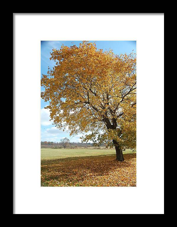 Fall Framed Print featuring the photograph Fall Tree by George Bogosian