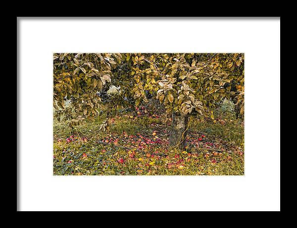 Green Mountain Orchards Putney Vermont Framed Print featuring the photograph Fallen Apples by Tom Singleton