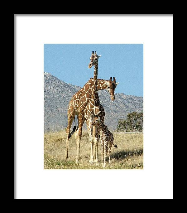 Giraffe Framed Print featuring the photograph Family Portrait by Patricia Quandel