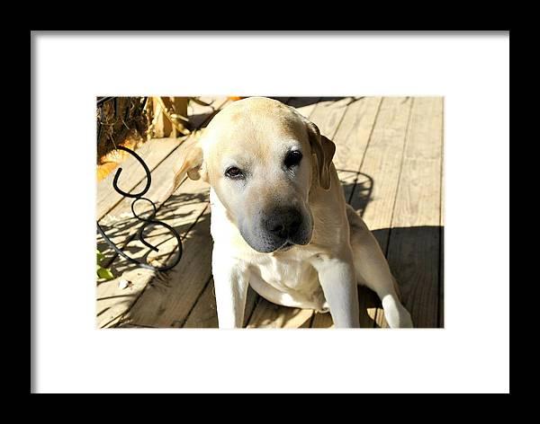 Farm Dog Framed Print featuring the photograph Farm Dog by SC Pierce