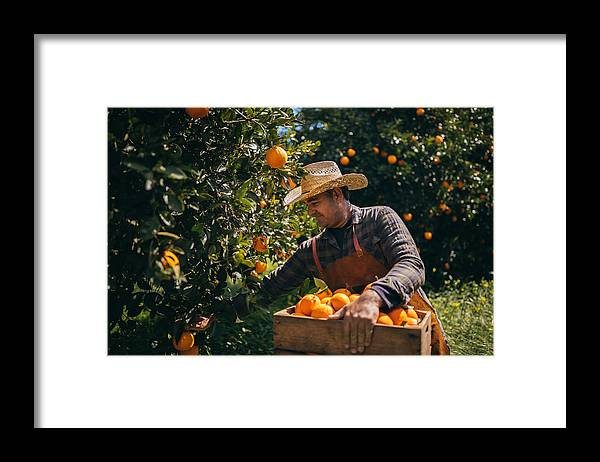 Vitamin C Framed Print featuring the photograph Farmer picking ripe oranges from orange trees in orange grove by Wundervisuals