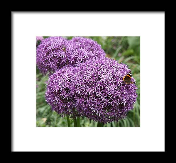 Allium Framed Print featuring the photograph Favorite Butterfly Spot by Christiane Schulze Art And Photography