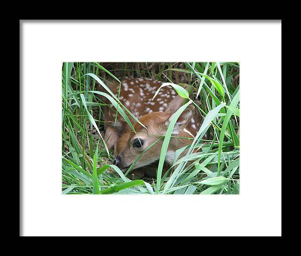 Fawn Framed Print featuring the photograph Fawn by Gina Boebel