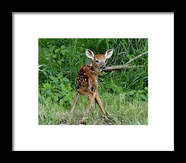 Fawn Framed Print featuring the photograph Fawn by Tricia Burnett