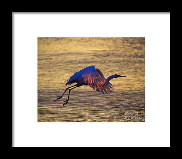 Egret Framed Print featuring the photograph Feather-light by Joe Geraci