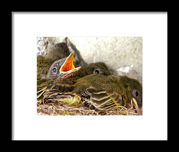 Nests Framed Print featuring the photograph Feed Me Seymour by Randy Rosenberger